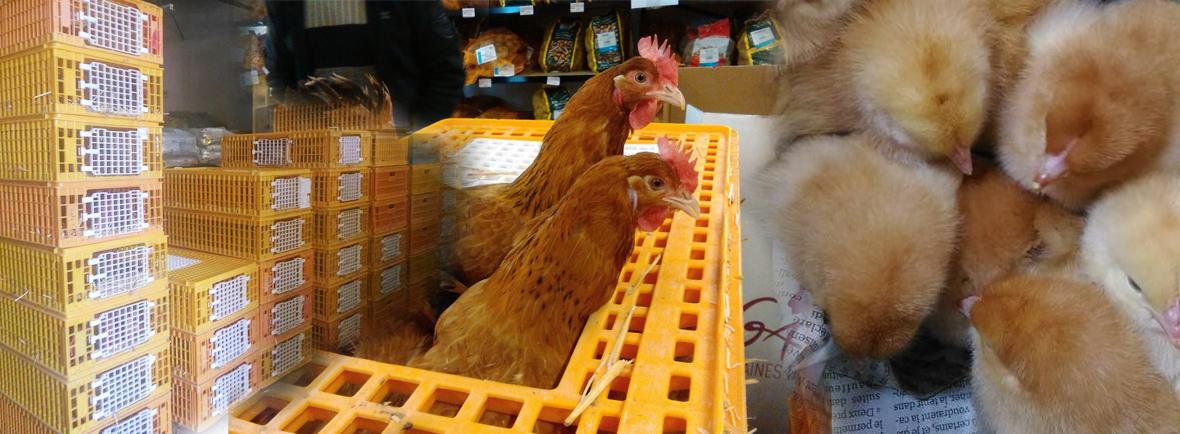 vente volailles vivantes la halle aux grains carcassonne